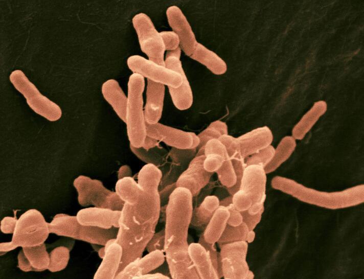KM71 酵母菌种