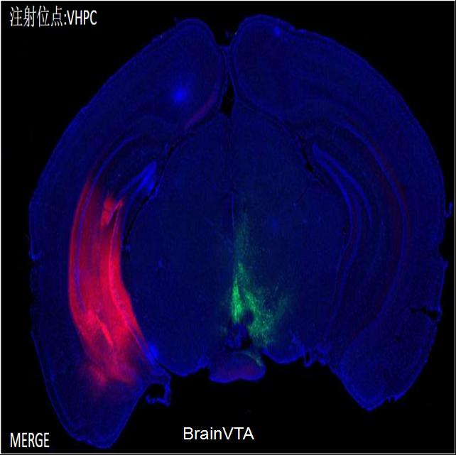 光遗传(光激活)rAAV-hSyn-hChR2(H134R)-mCherry