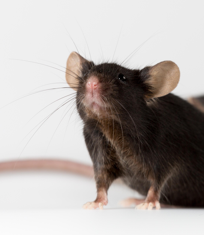 Myc条件性过表达自发肿瘤小鼠模型