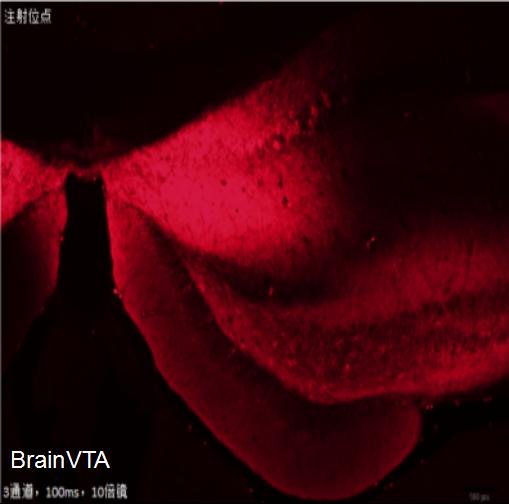 化学遗传激活 rAAV-CaMKIIα-hM3D(Gq)-mCherry
