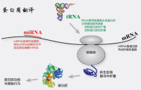 翻译组RNC-seq+转录组(mRNA-seq)组合套餐
