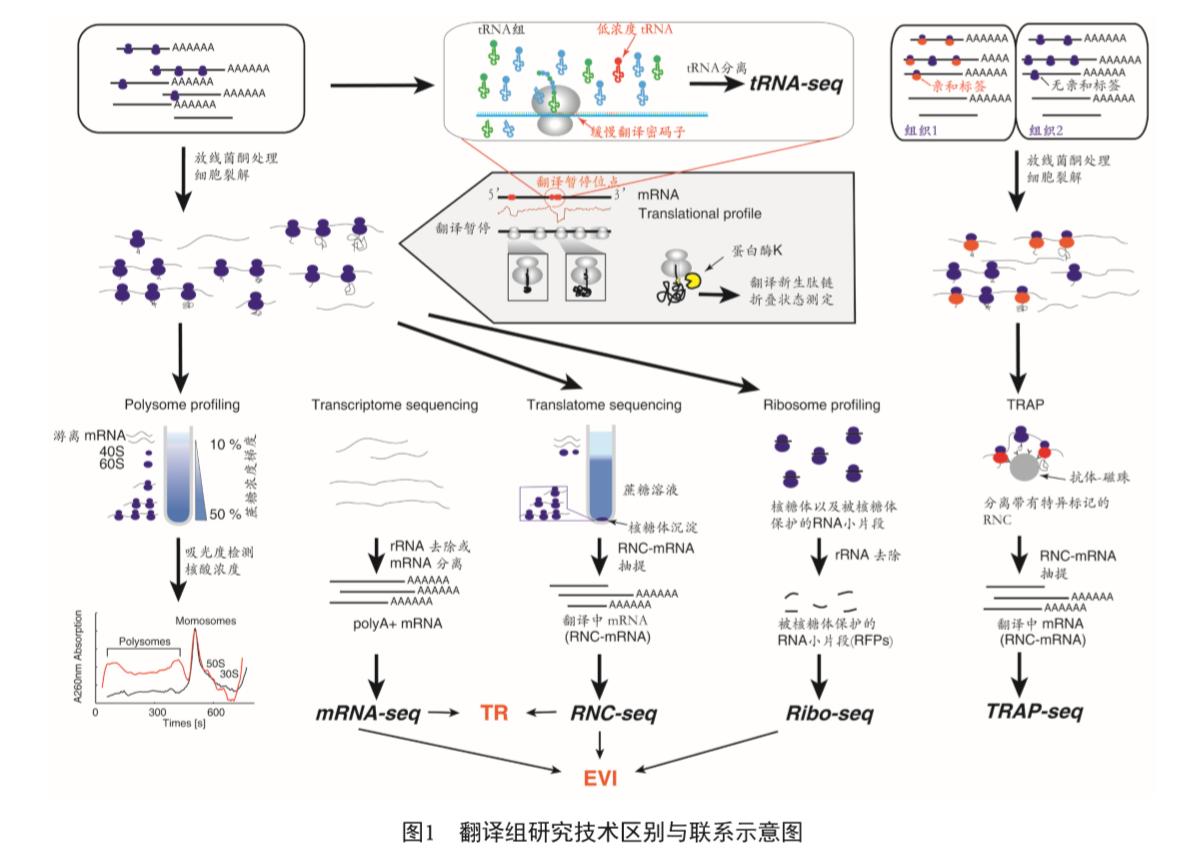 翻译组Ribo-seq+RNC-seq+转录组测序(mRNA-seq)组合套餐
