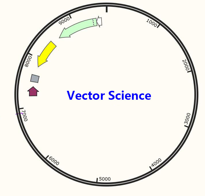 pBluescriptR-SS18L1/ pBluescriptR-SS18L1質粒