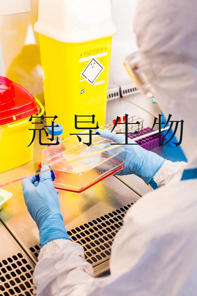 P116细胞:人急性淋巴白血病细胞