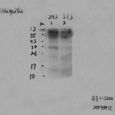 Ubiquitin Mouse Monoclonal Antibody(6G6)