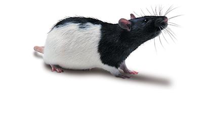Long-Evans SPF Rat 大鼠