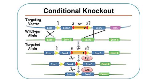 条件性基因敲除(Conditional Knockout)小鼠模型-组织特异性