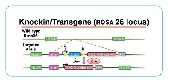 Rosa26位点基因敲入小鼠模型