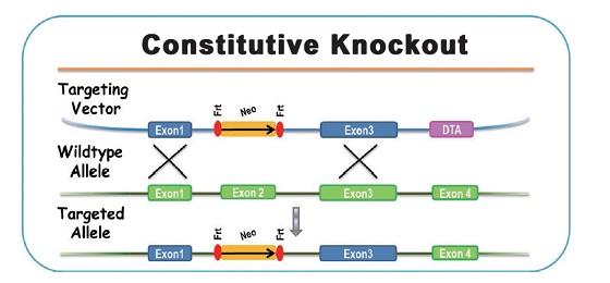 全基因敲除(Conventional Knockout)小鼠模型