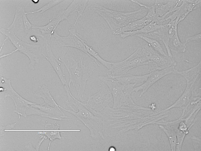 大鼠肺泡上皮细胞