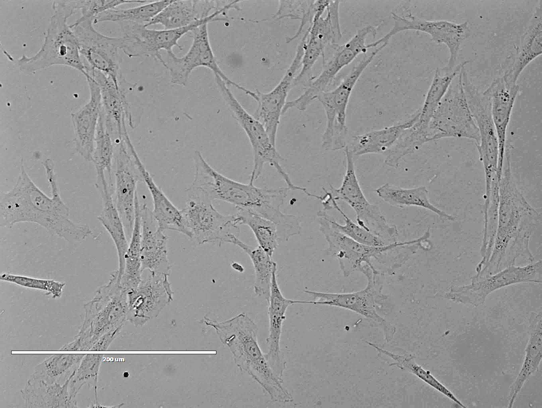 大鼠腹主动脉内皮细胞
