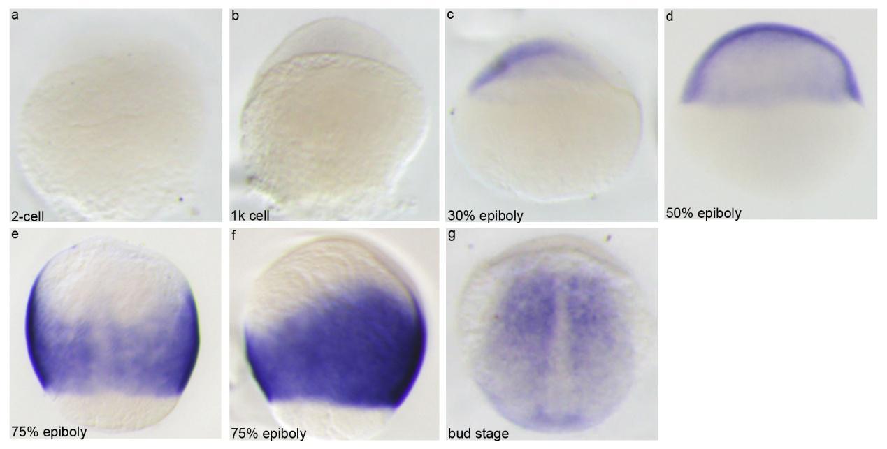 胚胎整体原位杂交