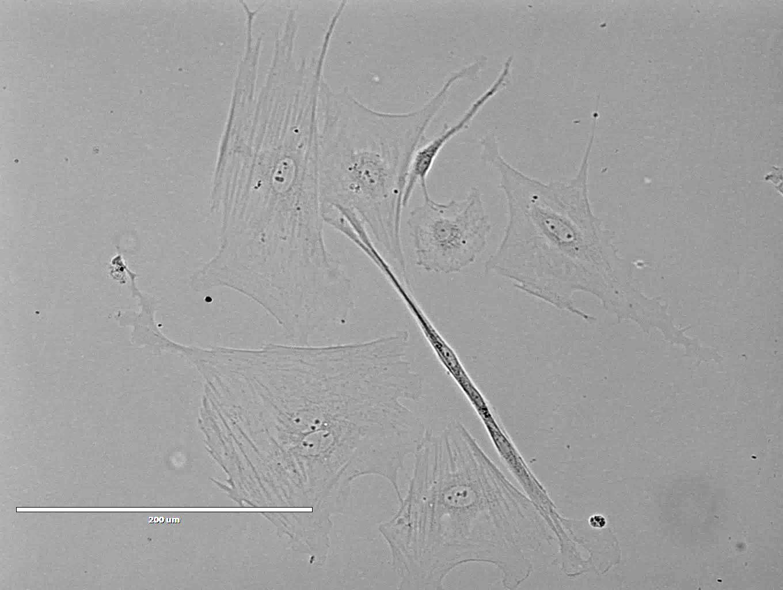 Rat Spinal Meninges Cells 大鼠脊膜细胞