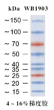 彩色预染蛋白Marker 15-150kDa