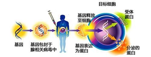 基于AAV系統的基因靶向藥物研發