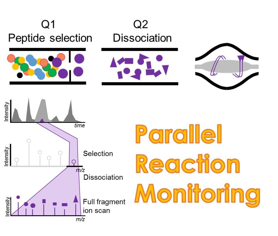 PRM靶向蛋白绝对定量