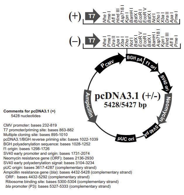 P0157 pCDNA3.1(+) 质粒载体