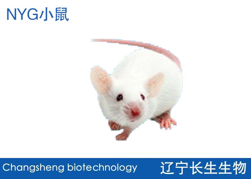 NYG小鼠