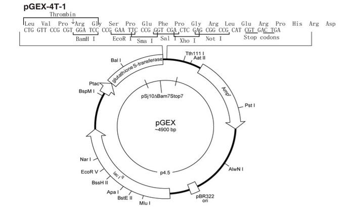 P0001 pGEX-4T-1 质粒载体