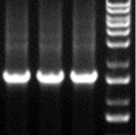 酵母双(单)杂交cDNA文库构建