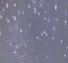 兔结膜成纤维细胞