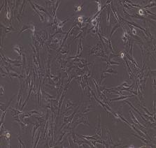 兔牙周膜干细胞