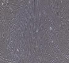 兔牙髓干细胞