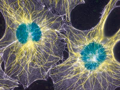 巨噬细胞/小胶质细胞激活剂(Tuftsin)