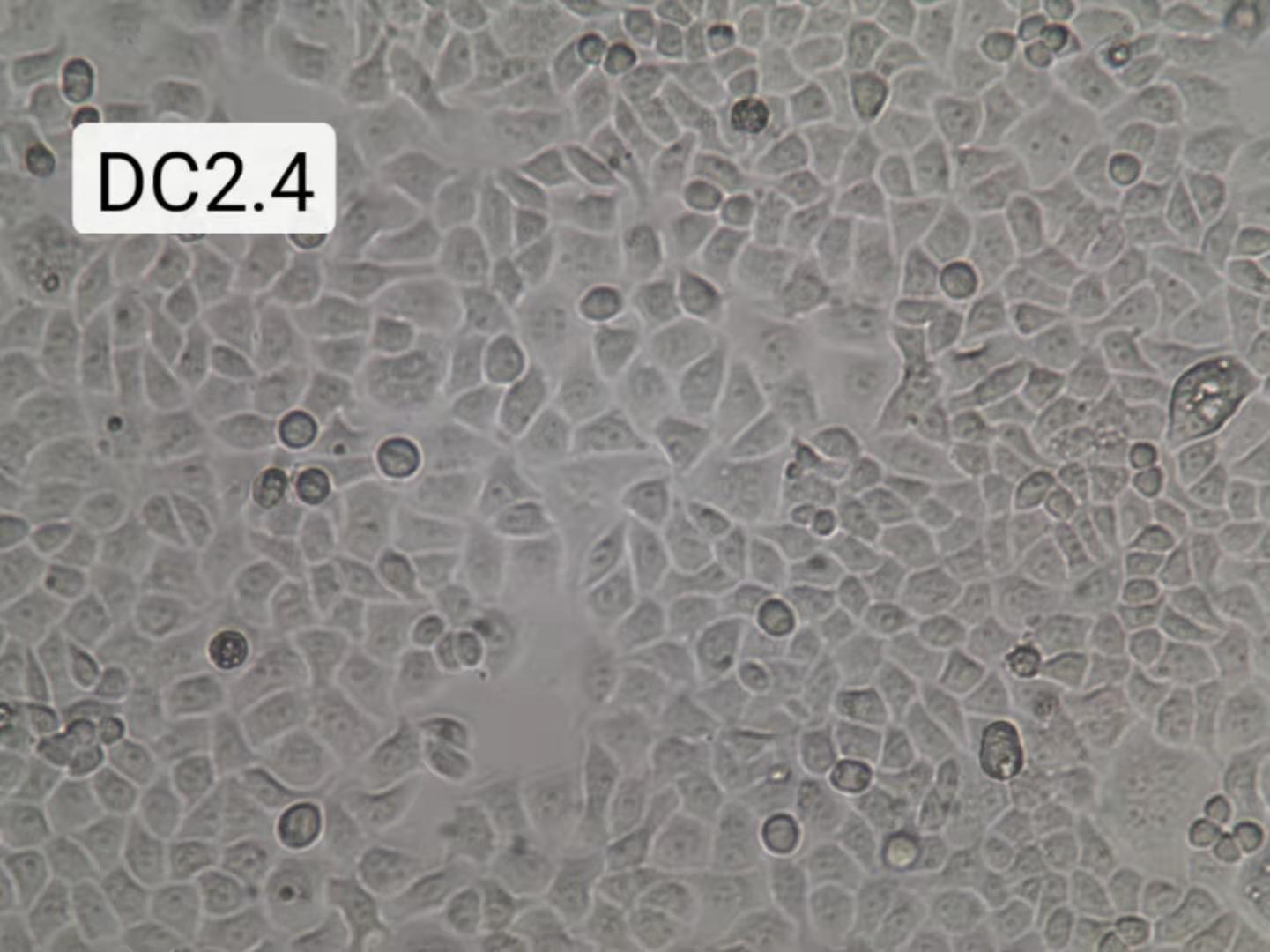 DC2.4细胞