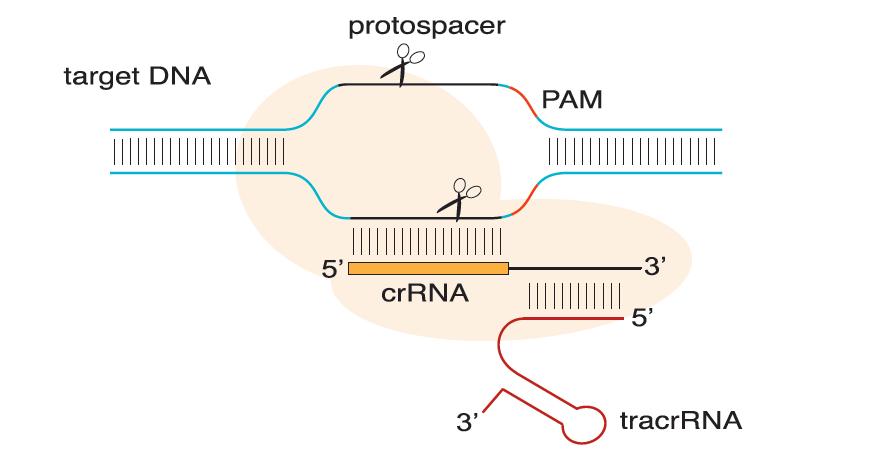 riboEDIT Cas9 mRNA (0.5ug/ul), 20ug