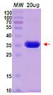 PNGase F / 肽N-糖苷酶