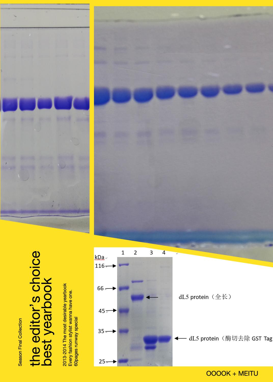 真核(哺乳)蛋白表达纯化