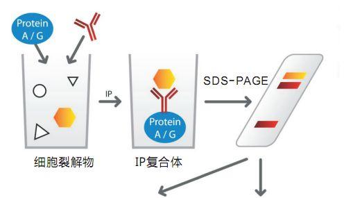 免疫沉淀(IP)