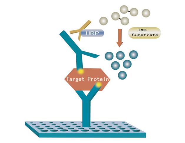 酶联免疫吸附测定(ELISA)
