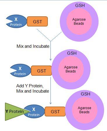 GST pull-down蛋白互作