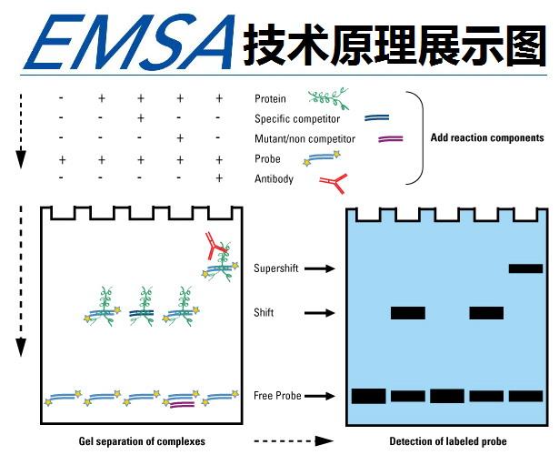 凝胶电泳迁移率(EMSA)