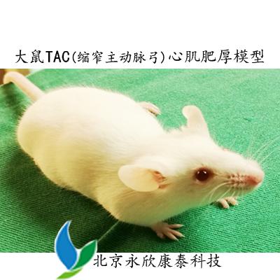 TAC(缩窄主动脉弓)致大鼠心肌肥厚模型(显微手术)