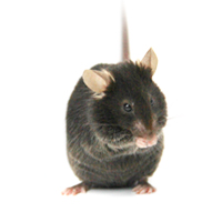 ES打靶人源化小鼠