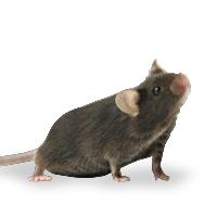 基因敲除小鼠丨基因敲入小鼠