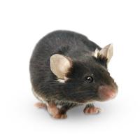 CRISPR/Cas9基因敲入小鼠