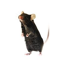 点突变小鼠