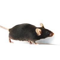 基因敲除小鼠|服务(ES打靶)