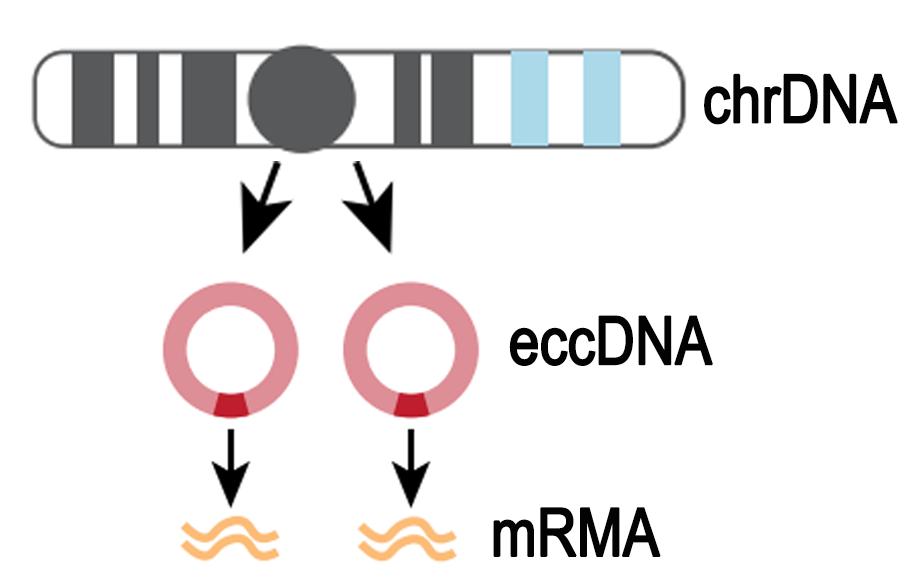 环状DNA测序(ecc DNA测序)
