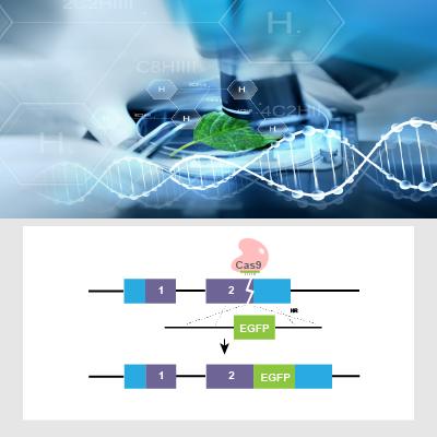 CRISPR/Cas9基因敲入细胞系定制