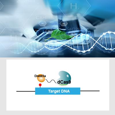 DNA甲基化修饰细胞系定制