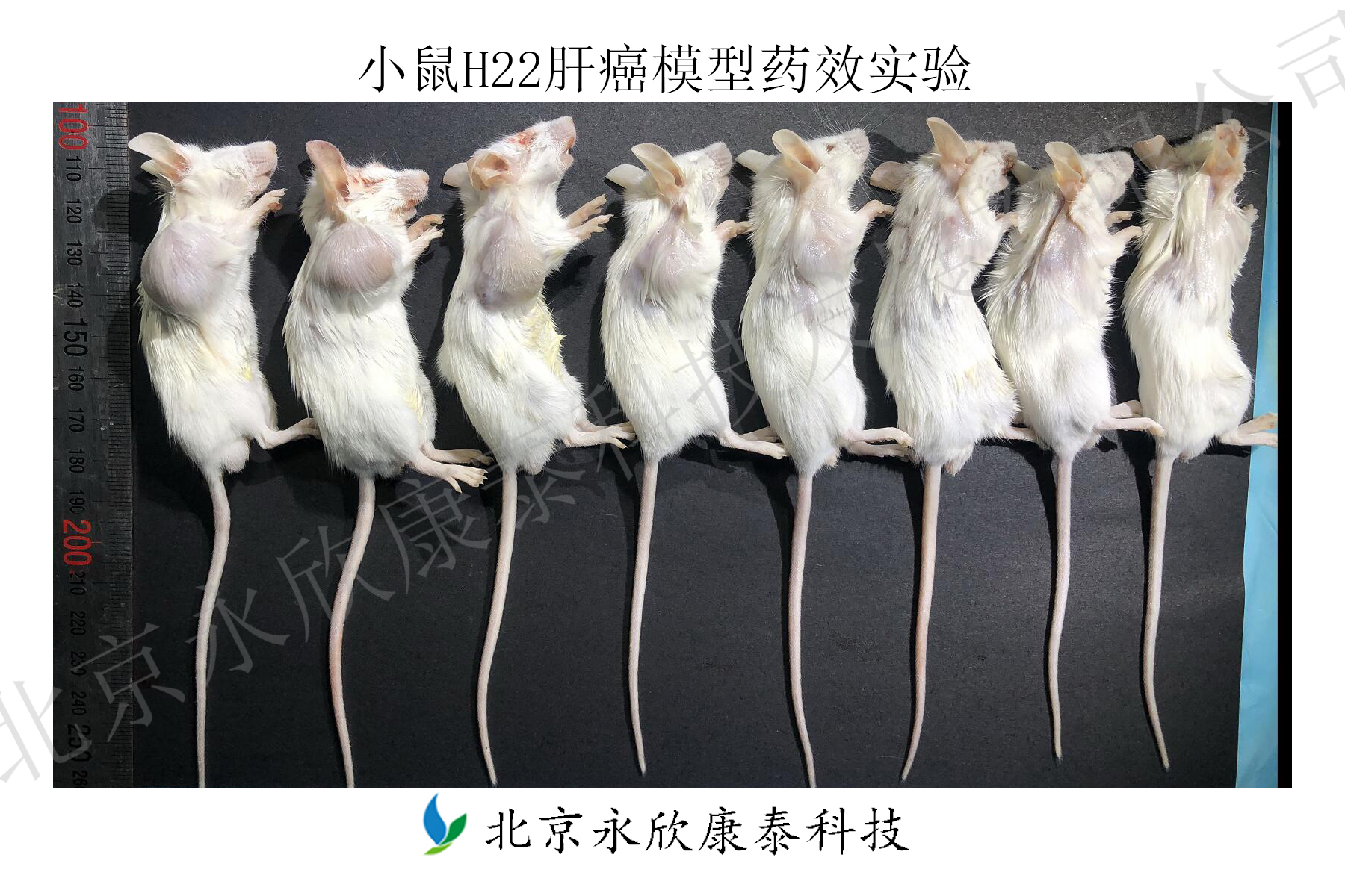 小鼠H22肝癌模型皮下移植药效实验