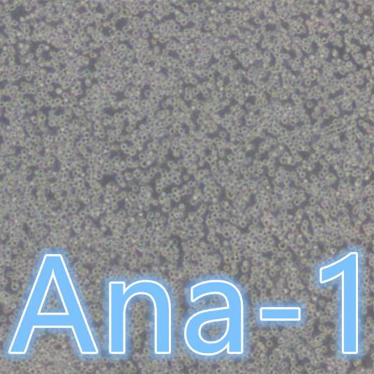 Ana-1 / Ana-1细胞 / Ana-1小鼠巨噬细胞