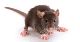 心肌梗死小鼠模型