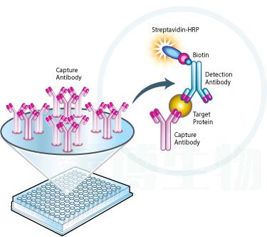 酶联免疫法(ELISA)