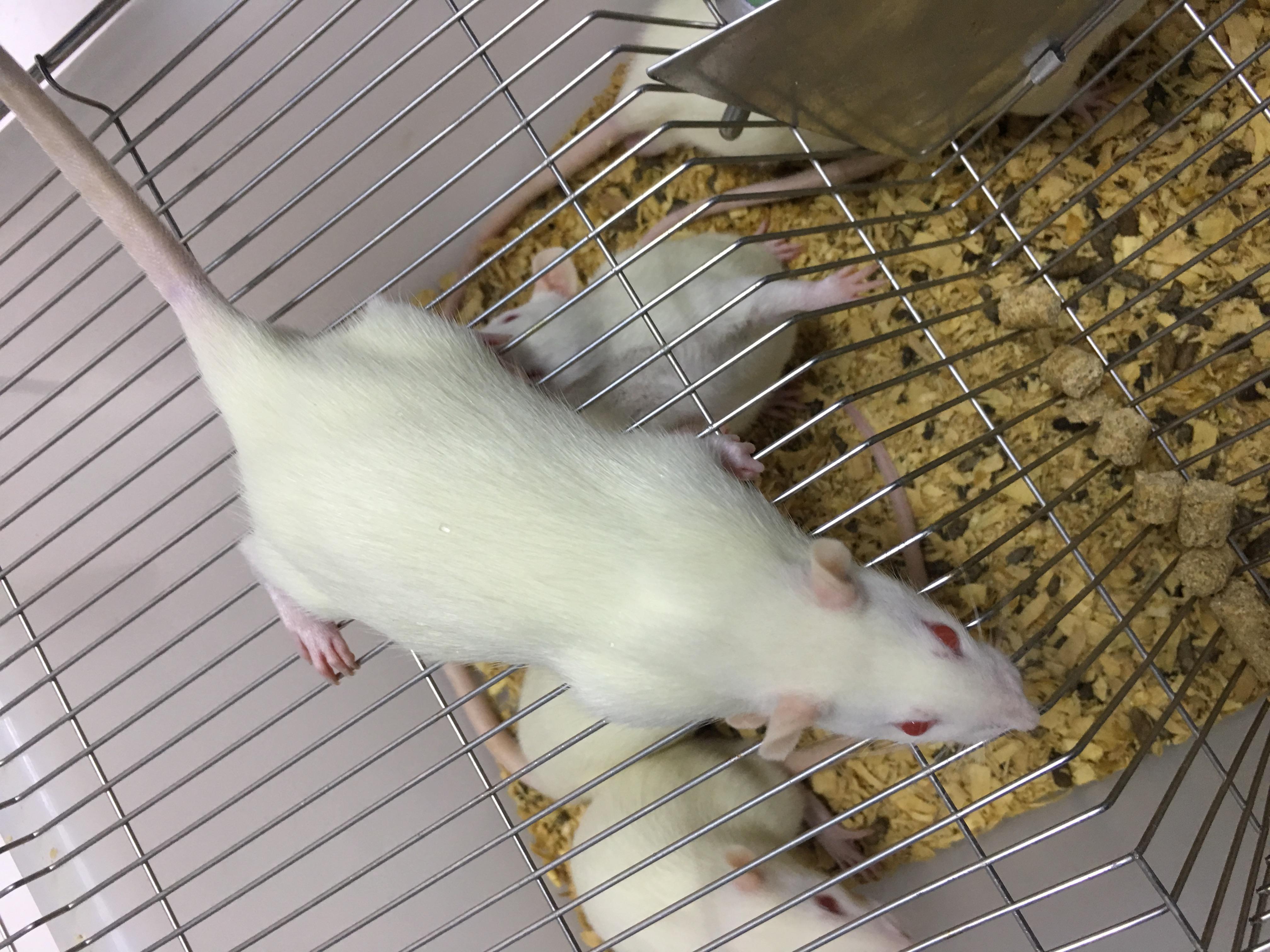 深Ⅱ0烫伤大鼠模型